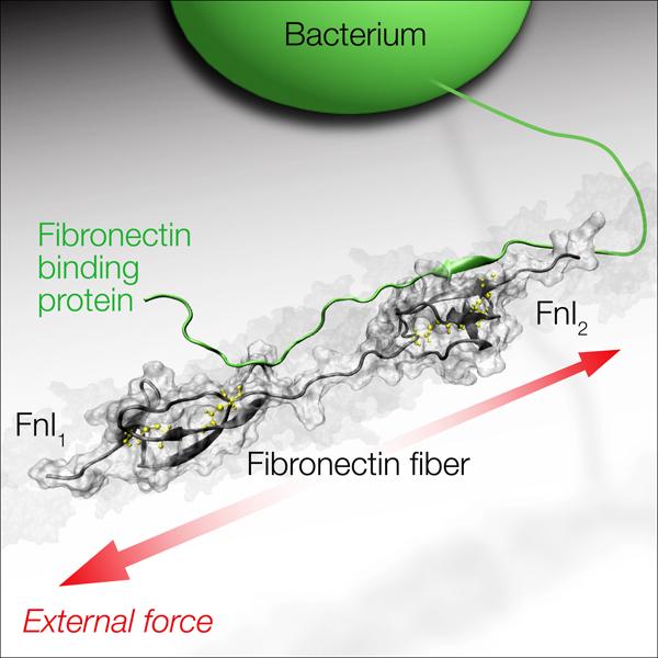 Fibronektin
